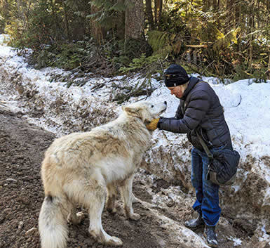 Walking With Wolves In Golden Bc