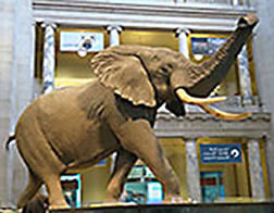 Smithsonian elephant